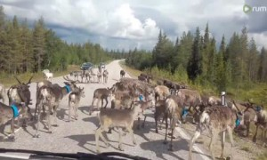 Herd of Reindeer Take Over the Road and Block Traffic