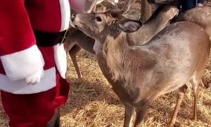 Santa Chooses Some Deer as Backup to Pull His Sleigh