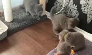 Kittens adorably play with their toys