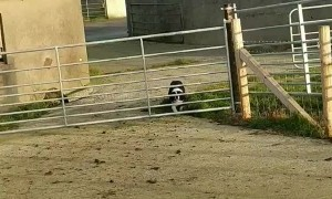 Quick-Witted Collie Slips Through Sheep Gate
