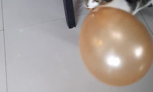 Adorable Cat Playing with a Balloon