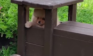 Cute Pomeranian gets stuck inside a toy train