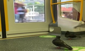 Pigeons Take Public Transportation