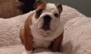 Puppy Can't Hold Back Excitement For New Bed