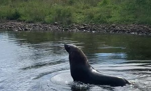 Rare Sight of Seal Wading in Fresh Water