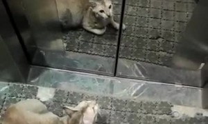 Intelligent Kitty Uses Lift to Get Outside