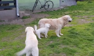 Dog Jumps Onto Golden Retriever's Back And Goes For Ride