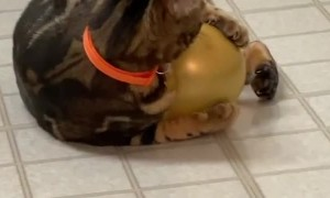 Chippy the Cat Doesn't Trust Balloons