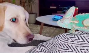 Chameleon Gives Buddy's Ear A Taste Test