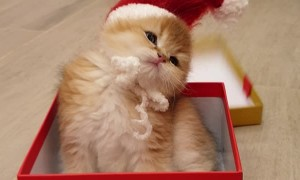 Adorable Kitten Pops out of Present