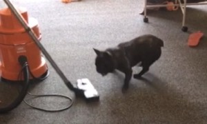 French Bulldog puppy makes vacuuming really difficult