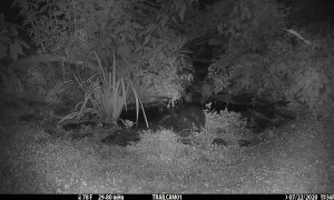 Mischievous Possum Pushes Skunk into Pond