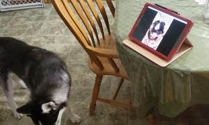 Doggy Best Friends Share a Video Call