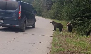 Bears Go to Vehicles for Food