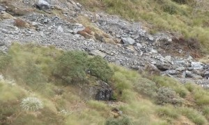 Bull Tahr Hidden On Mountain Are Almost Impossible To Spot