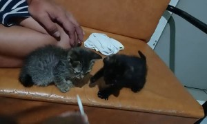 Feeding Hungry Rescued Kittens Through Syringe
