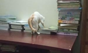 Kitty Somersaults Right off Table