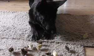 German Shepherd Puppy Looks After Tiny Newborn Chicks