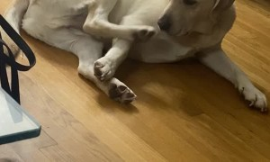 Lab Confused by Twitchy Foot