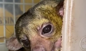 Comfy Kinkajou Is Very Vocal about the Cold