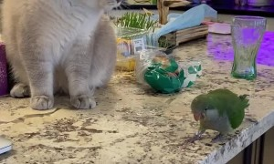Bossy Bird Isn't Scared of Olaf the Cat