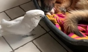 Tired Doggy Ignores Barking Birdie