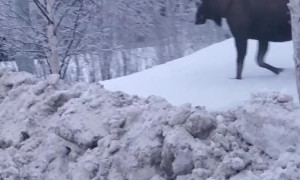 Moose Meander Along the Streets of Anchorage