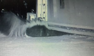 Sneaky Skunks Squeezes under Garage Door