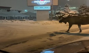 Large Moose in Road Doesn't Want to Move