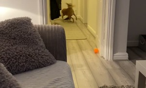 Speedy Dog Spills in Pursuit of Squeaky Toy