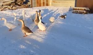 Flock of Geese Follow Neighborhood Cat