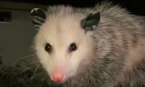 Paperclip the Baby Opossum Chomping on Food