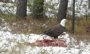 American Bald Eagle Feasts on Carcass