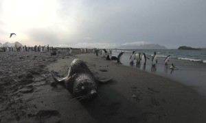 Fur Seal Doesn't Want People Filming Penguins
