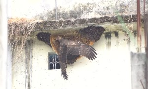 Honey Buzzard Having a Snack