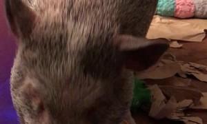 Rowan The Pig Shows off His Musical Skills