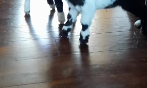 Clumsy Baby Goats Struggle on Hard Floors