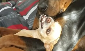 Chihuahua is Not a Fan of Rottweiler Cuddles