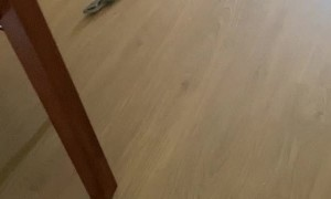 Blue Tongue Lizard Slips and Slides on Wood Floor