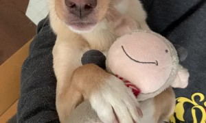 Puppy Trust Falls With His Favorite Plushie