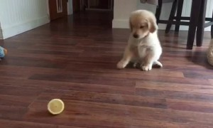 Golden Retriever Puppy Is Really Confused By Lemon Slice