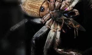 Huntsman Spider Enjoys a Feast on Window