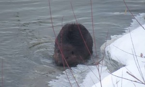 Wild Beaver Waddles like a Zombie