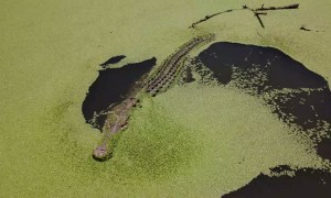 Giant Crocs Chomp at Drone
