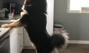 Tibetan Mastiff Peaking out the Window at Neighbors Dog