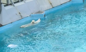 Polar Bear Goes for Relaxing Swim