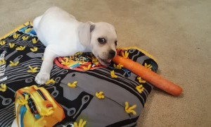 Cute Little Puppy Loves Eating Carrots