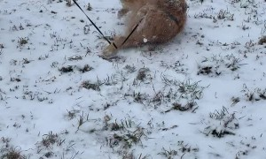 Golden Retriever Grabs Tail and Does Somersaults Down a Hill