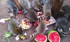 Raccoons Feed on Breakfast Buffet