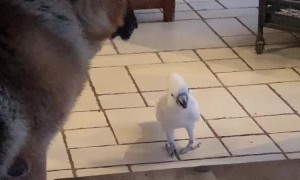 Big Dog Listens to Barking Bird